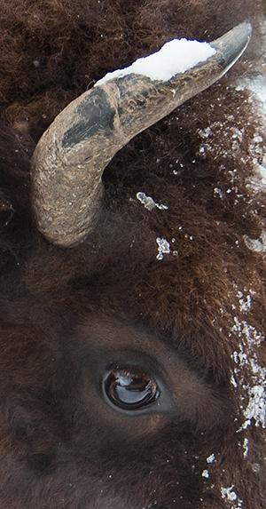 yelw13_bison2831dk300
