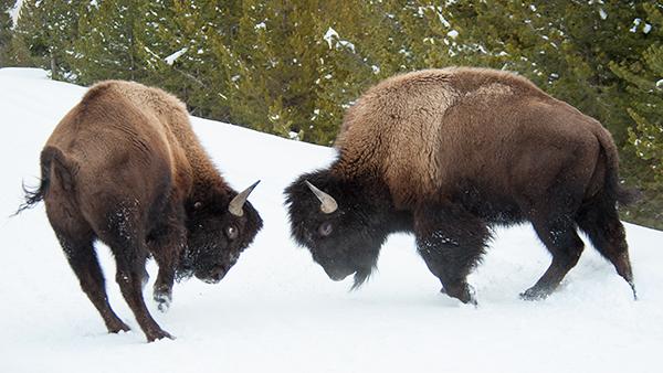 yelw13_bison2837dk600