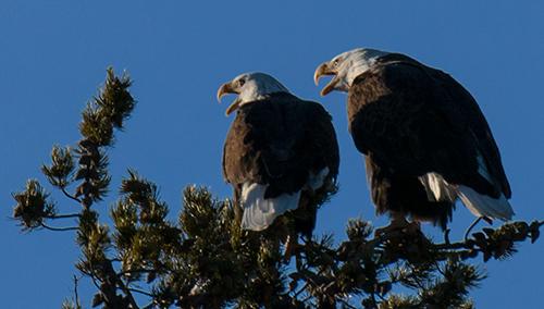 yelw13_eagles6653dk500