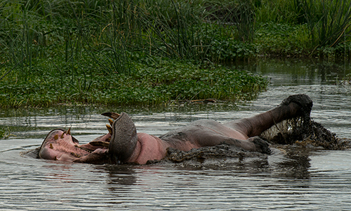Hippo wallowing in the mud© 2013 Diane Kelsay