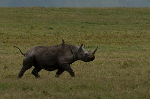 tz13_rhino9343dk500
