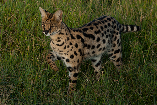 Serval about to chase a bird© 2013 Diane Kelsay