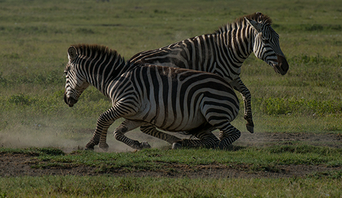 Zebras fighting© 2013 Diane Kelsay