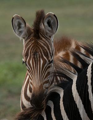 tz13_zebras9627dk300