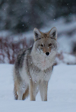 yelw13_coyote8082bh300