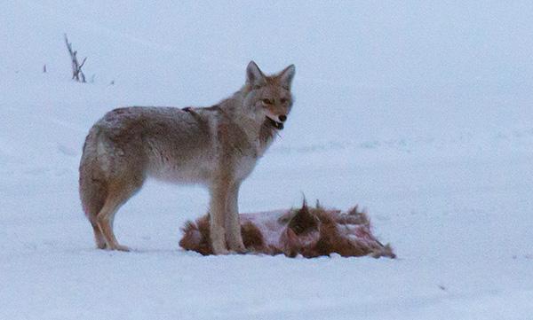 yelw13_coyote8368bh600