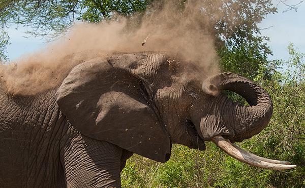 tz13_elephant3816dkcrop600