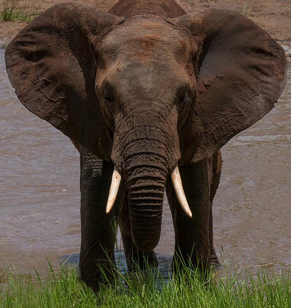 tz13_elephant8553dk600