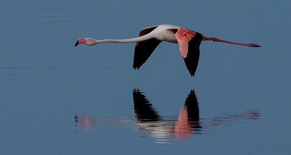tz13_flamingo0343dk600