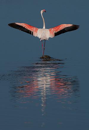 tz13_flamingo0416dk300