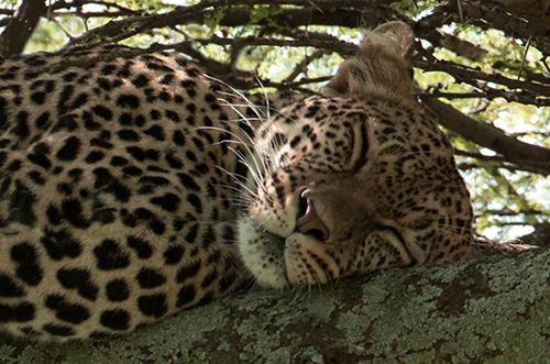 tz13_leopardface0156dk500