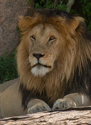 tz13_lion0713dk300