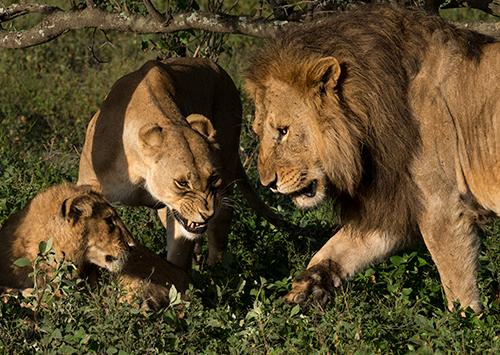 tz13_lionfamily0069dk500
