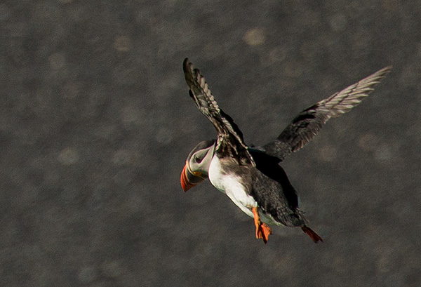 Puffin landing©2013 Bob Harvey