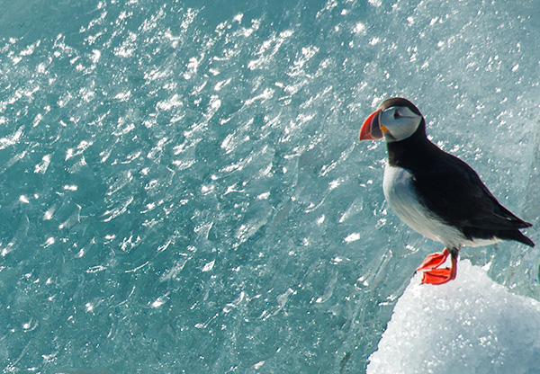 Puffin and icebergs©2013 Bob Harvey