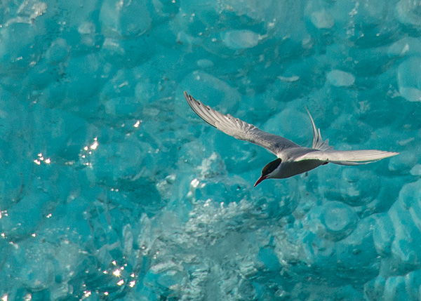 Artic tern fishing between ice bergs©2013 Bob Harvey