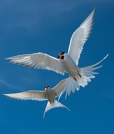 Artic Terns©2013 Bob Harvey
