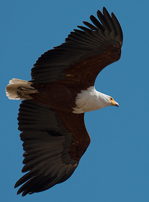 Fish eagle© 2013 Bob Harvey