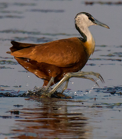 Jacana© 2013 Bob Harvey
