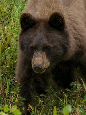 Bear cub, lively and fun to watch.© 2013 Diane Kelsay