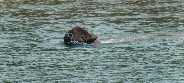Bison swimming across the Yellowstone River. Swimming is not easy for them.© 2013 Diane Kelsay
