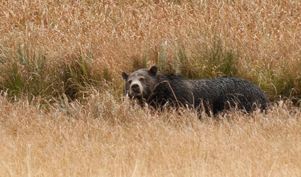 Grizzly bear busy digging for things to eat - roots, grubs...© 2013 Bob Harvey