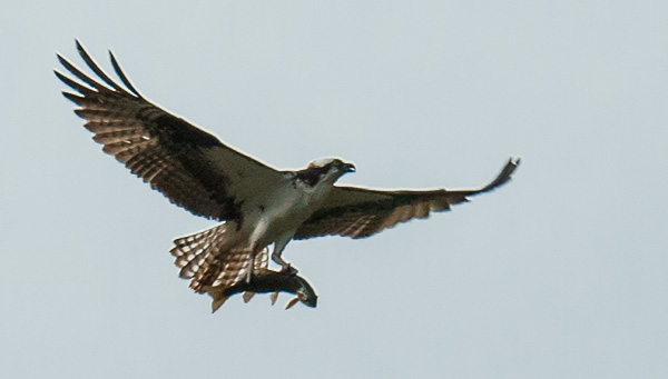 Osprey with a catch, and struggling to hold on to it.© 2013 Bob Harvey