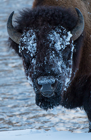 Bison digging through the snow to find grasses to eat. © 2014 Bob Harvey