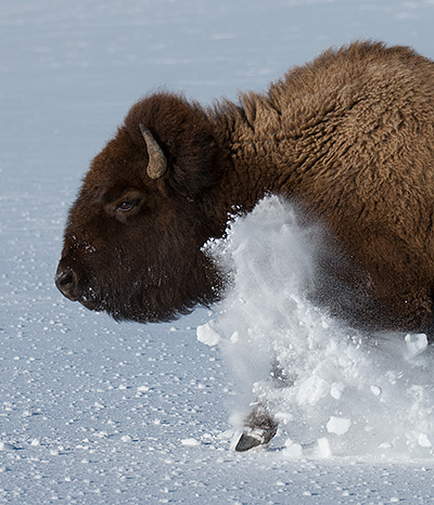 Bison © 2014 Bob Harvey