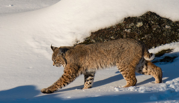 Bobcat walking along the Madison River © 2014 Bob Harvey