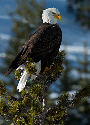 Bald Eagle, fishing the Gibbon River © 2014 Diane Kelsay
