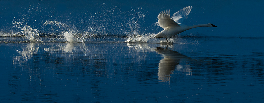 Swan takoff, Madison River © 2014 Diane Kelsay