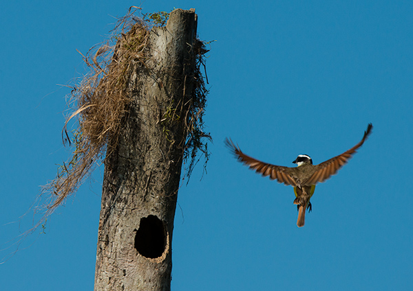 Flycatcher and nest. © 2014 Diane Kelsay