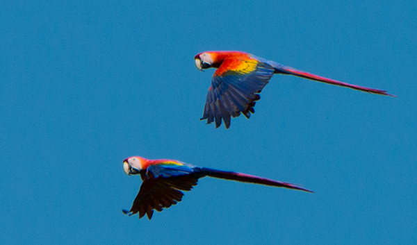 Scarlet Macaws flying above the river. © 2014 Diane Kelsay
