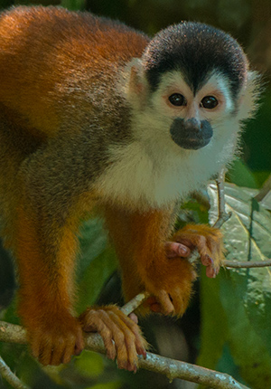 Red-backed Squirrel Monkey © 2014 Diane Kelsay