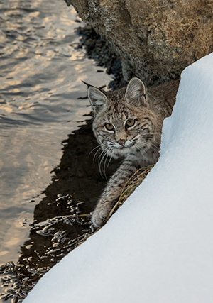 Bobcat, Madison River © 2013 Diane Kelsay