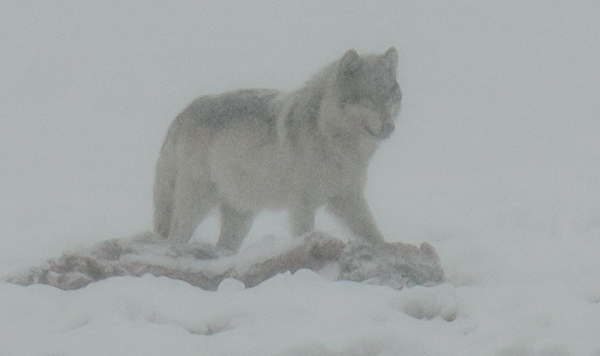 Wolf on a bison kill © 2013 Diane Kelsay