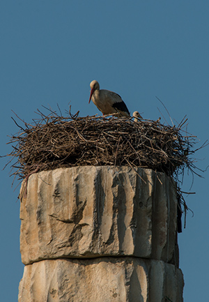 Stork nest on the last remaining column of  the Temple of Artemis. © 2014 Diane Kelsay