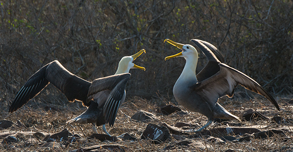 Waved albatross, just reunited and performing the courtship dance. © 2014 Diane Kelsay