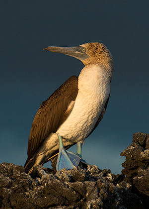 Blue footed booby © 2014 Bob Harvey