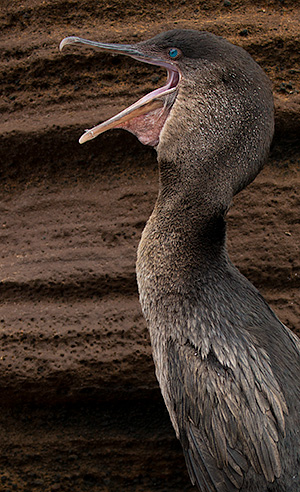 Flightless cormorant © 2014 Bob Harvey
