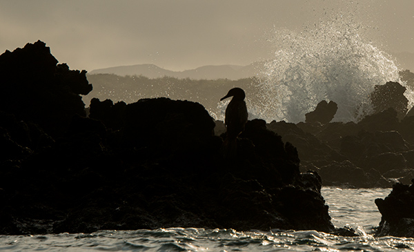 Flightless cormorant on lava, backlit with first sunlight. © 2014 Diane Kelsay