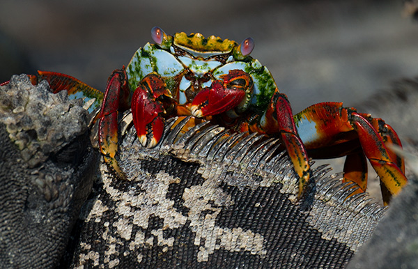 Sally lightfoot crab resting on a marine iguana. © 2014 Bob Harvey