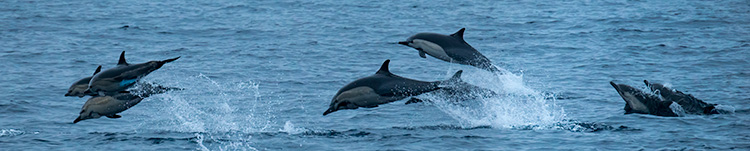 "Dolfins appear off the Samba and we spend fun moments ""catching"" the jumps. © 2014 Bob Harvey"