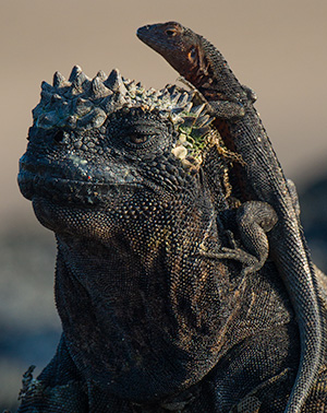 Marine iguana and lava lizard © 2014 Bob Harvey