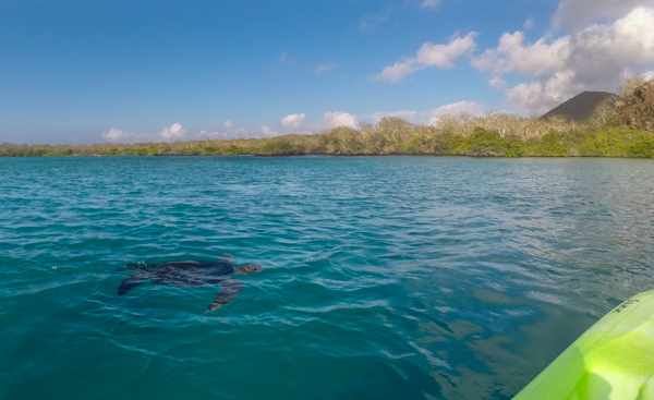 A sea turtle swims toward my kayak. © 2014 Diane Kelsay