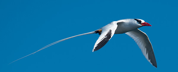 Red-billed Tropicbird © 2014 Bob Harvey