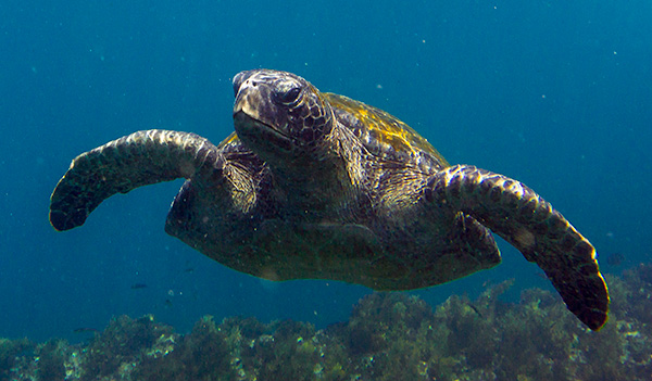 A sea turtle approaches during a snorkel, very exciting. © 2014 Bob Harvey