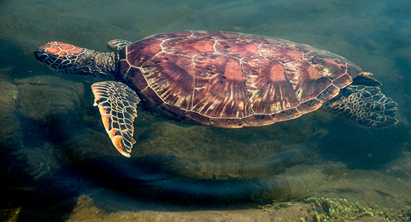 Sea turtle goes swimming by in the shallows. © 2014 Diane Kelsay