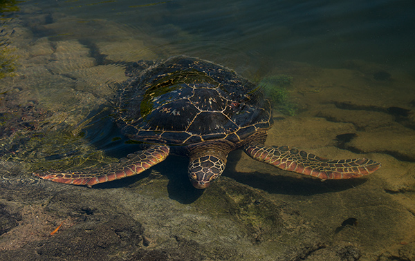 Sea turtle swimming up to the shore. © 2014 Diane Kelsay